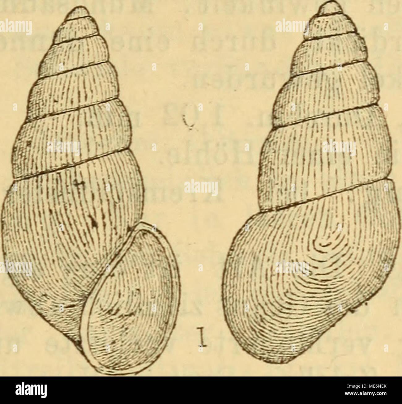 . Die Mollusken-Fauna Mitteleuropa's . Vit. gracilis. Höhe 1,9 mm., Durchm. 0,6 mm. Verbreitung: In Krain im Auswurfe der Bäche. Bemerkung. Die Art ist sehr eigenthümlich und von allen übrigen des Genus leicht zu unterscheiden. 6. Vitrella Pfeifferi n. sp. Thier: nicht beschrieben. Fig. 423, Stock Photo