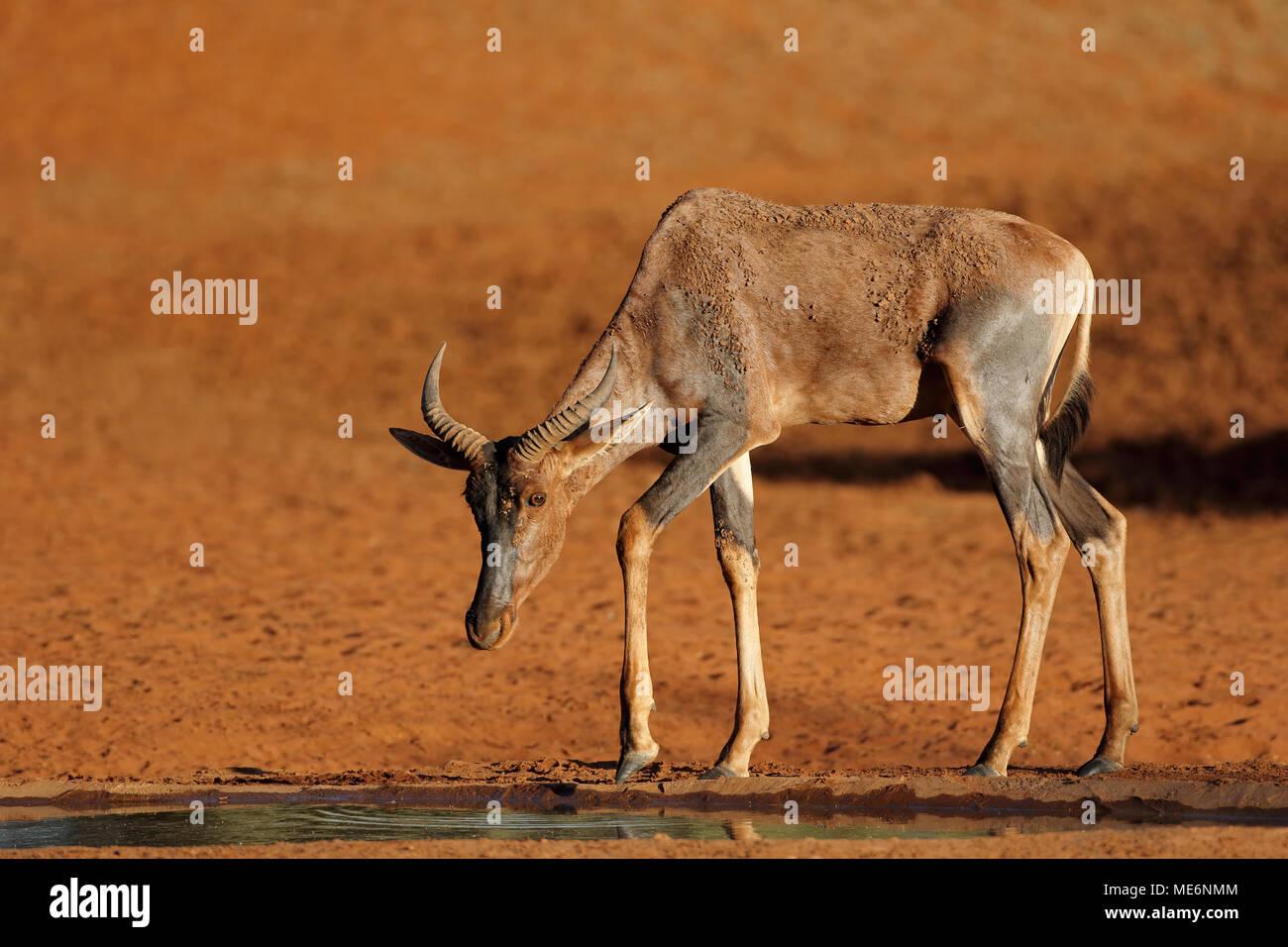 Rare tsessebe antelope (Damaliscus lunatus) at a waterhole, South Africa Stock Photo