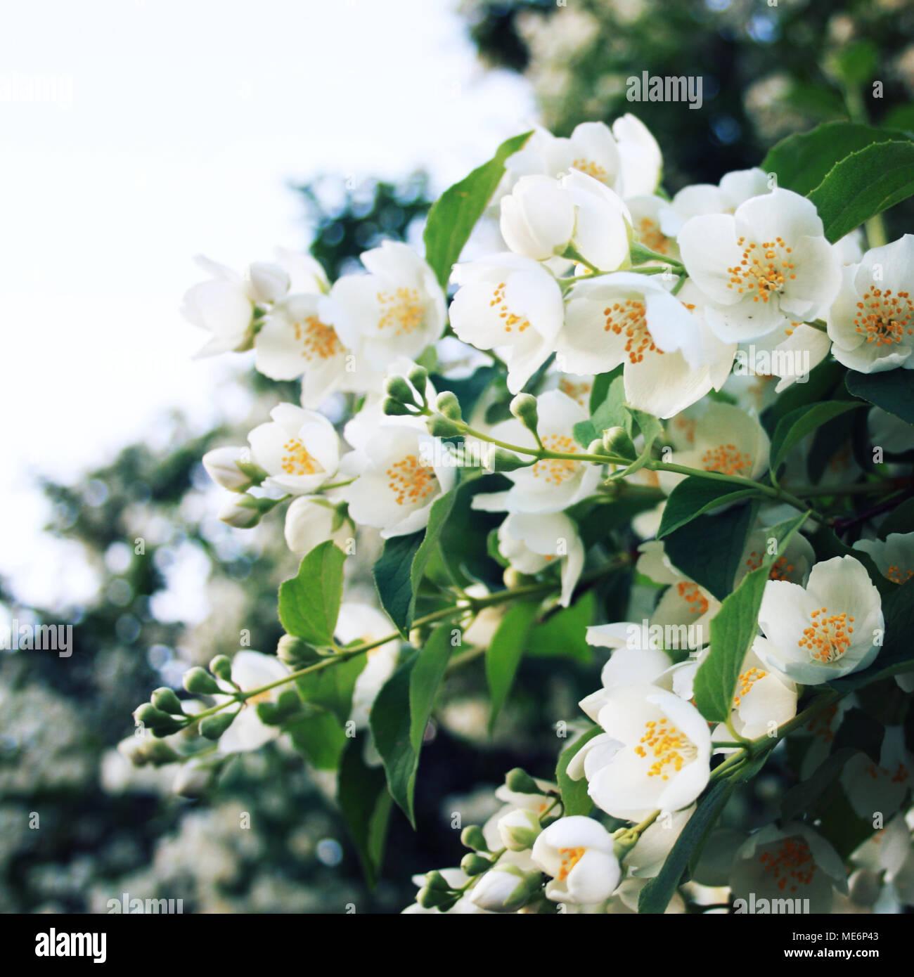 Jasmine Like Flowers In Bloom Aged Photo Close Up Philadelphus