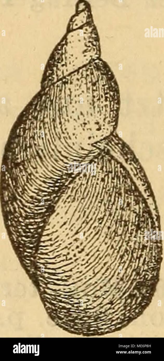 . Die Mollusken-Fauna Mitteleuropa's . S. Pfeif?, v. elata. Verbreitung: Tirol, bei Rochetta im Nonsthale, fer- ner wahrscheinlich in der Schweiz. Bemerkung. Die Varietät ist der vorhergehenden sehr nahestehend, nur ist sie noch schmäler, hat einen noch weniger aufgeblasenen letzten Umgang und ein längeres Gewinde. 7. VÜT. Ockracea De Betta Malac. di valle di Non. I p. 31. 1852. — — Bielz Verhandl. Siebenb. Ver. 1853 IV p. 162. Succ. Pfeifferi var. ochracea Baudon Mon. Succ. 1877 p. 164 t. 7 f. 5; — — — — Bielz Fauna p. 38. — — — — v. Kimakowicz Beitrag I p. 78. — ochracea Gredler Tirol p. 35. Stock Photo