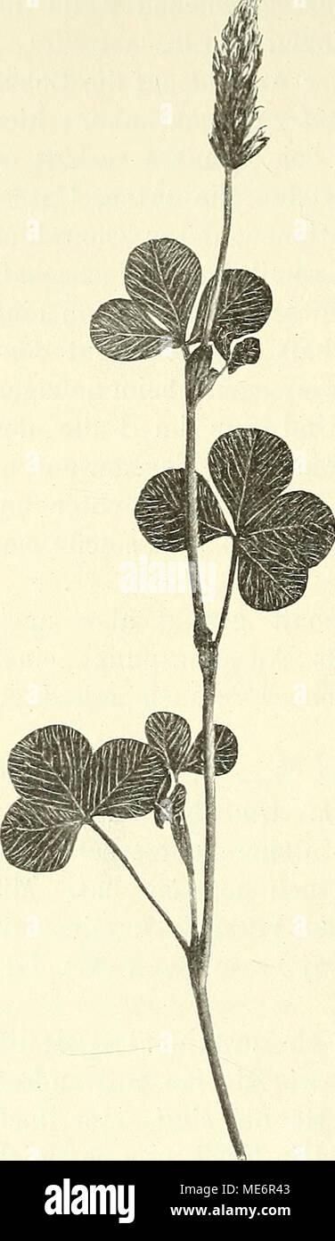 . Die mutationstheorie. Versuche und beobachtungen über die entstehung von arten im pflanzenreich . 1 0. Penzig, Pflanzenteratologie. Bd. I. 1890. S. 385, wo T. incarnatum gar nicht erwähnt wird. - Stock Image