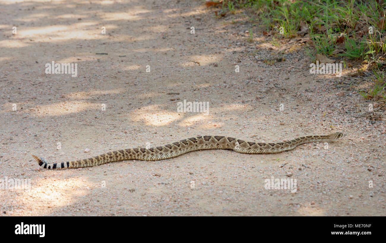 Large Texas Rattlesnake on a Hiking Trail - Stock Image