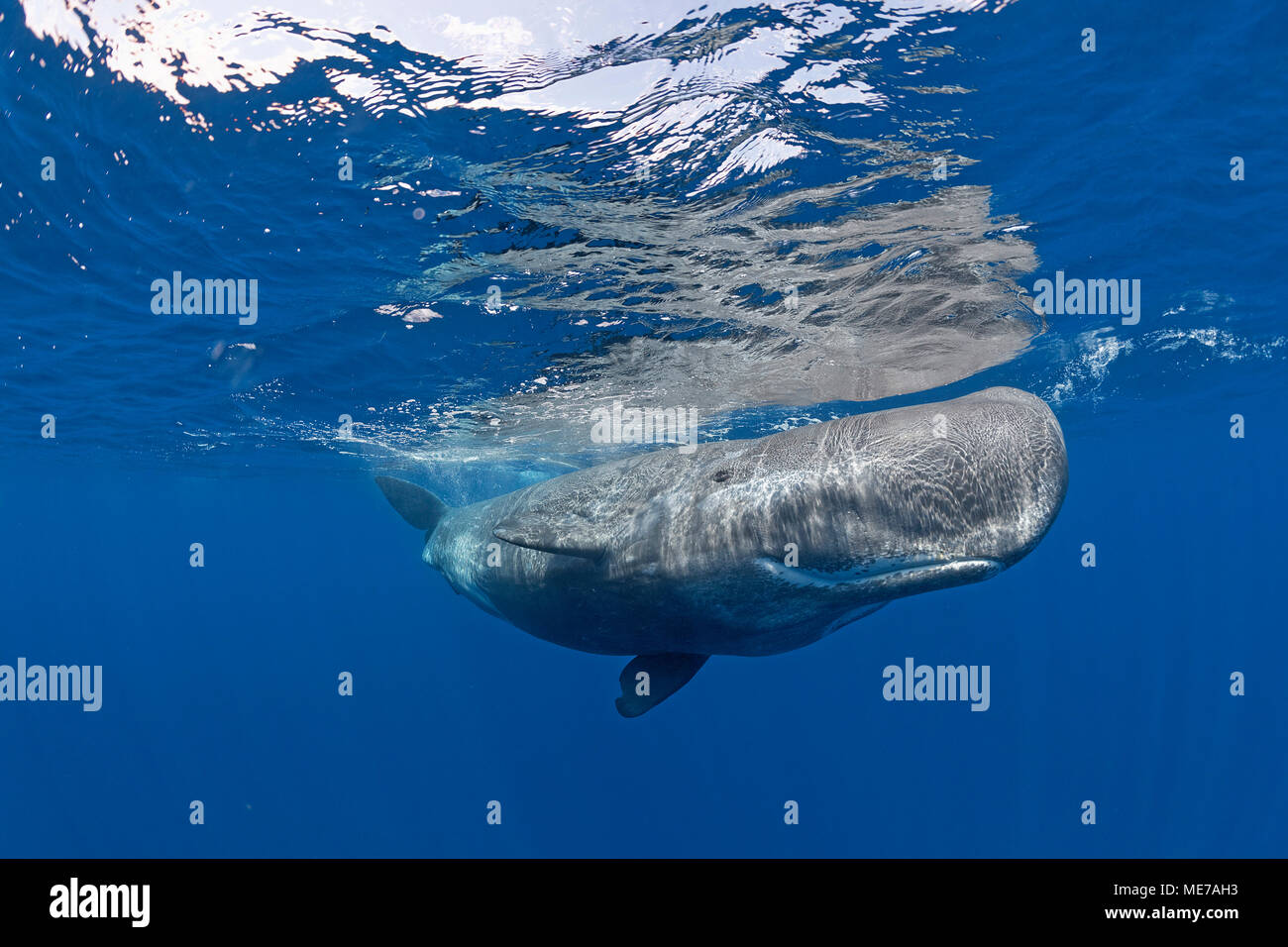 Pottwal (Physeter macrocepahalus), Pico, Azoren, Portugal | Sperm Whale (Physeter macrocephalus) in blue water, Pico Island, Azores, Portugal - Stock Image