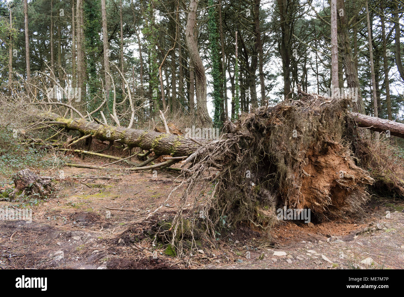 fallen pine tree showing exposed root system - Stock Image