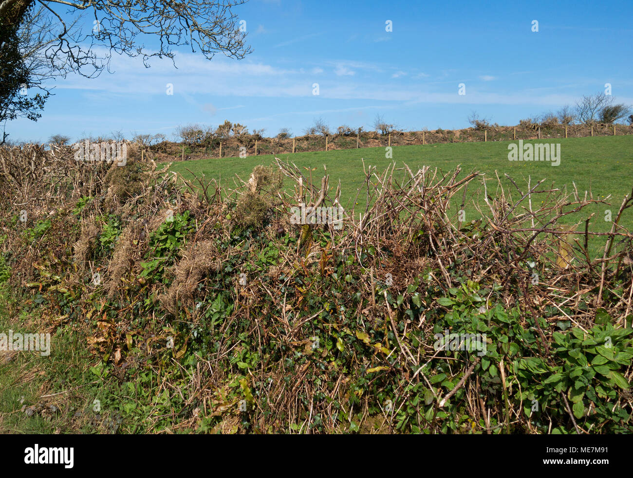 coppiced and trimmed hedgerow in the cornish countryside, england, britain, uk. - Stock Image