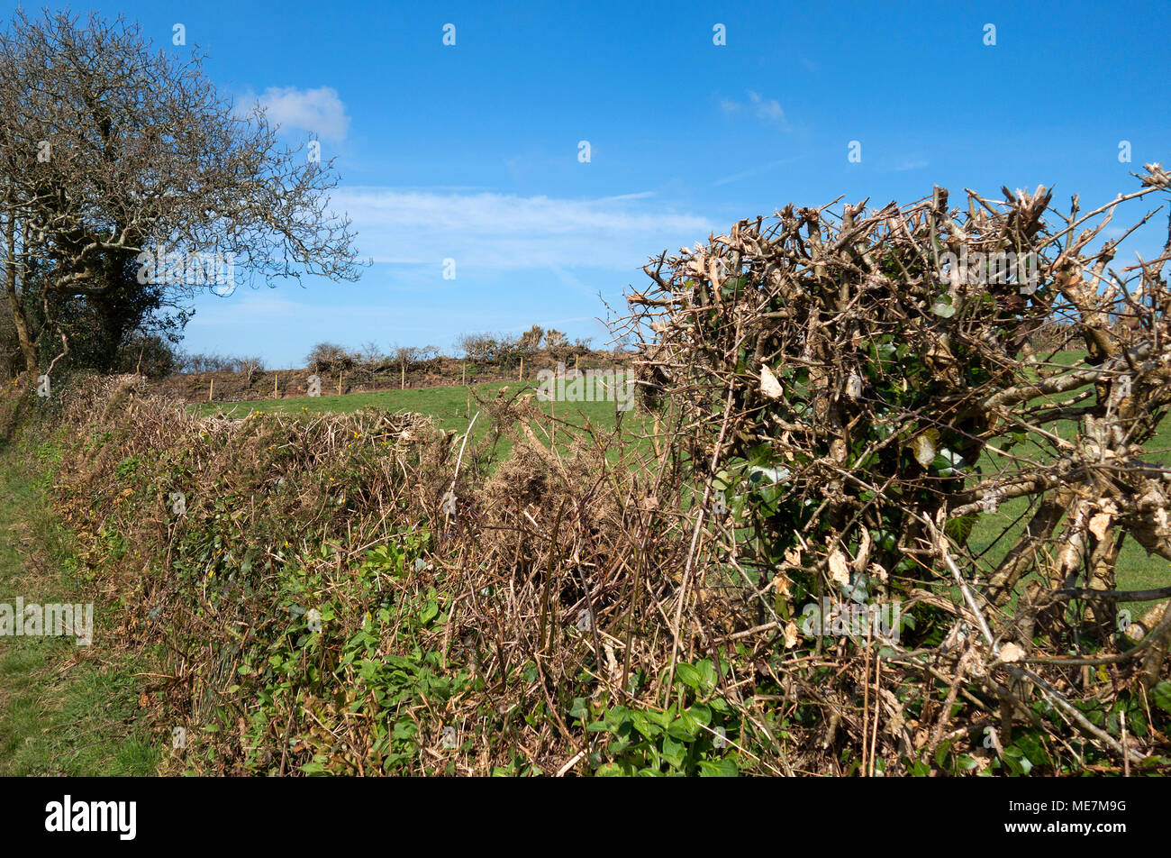 coppiced and trimmed hedgerow in the cornish countryside, england, britain, uk - Stock Image