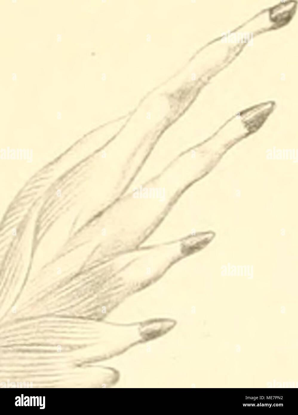 . Die Muskeln der vorderen extremitäten der Reptilien und Vögel : mit besonderer Rücksicht auf die analogen und homologen Muskeln bei den Säugethieren und dem Menschen . - Stock Image
