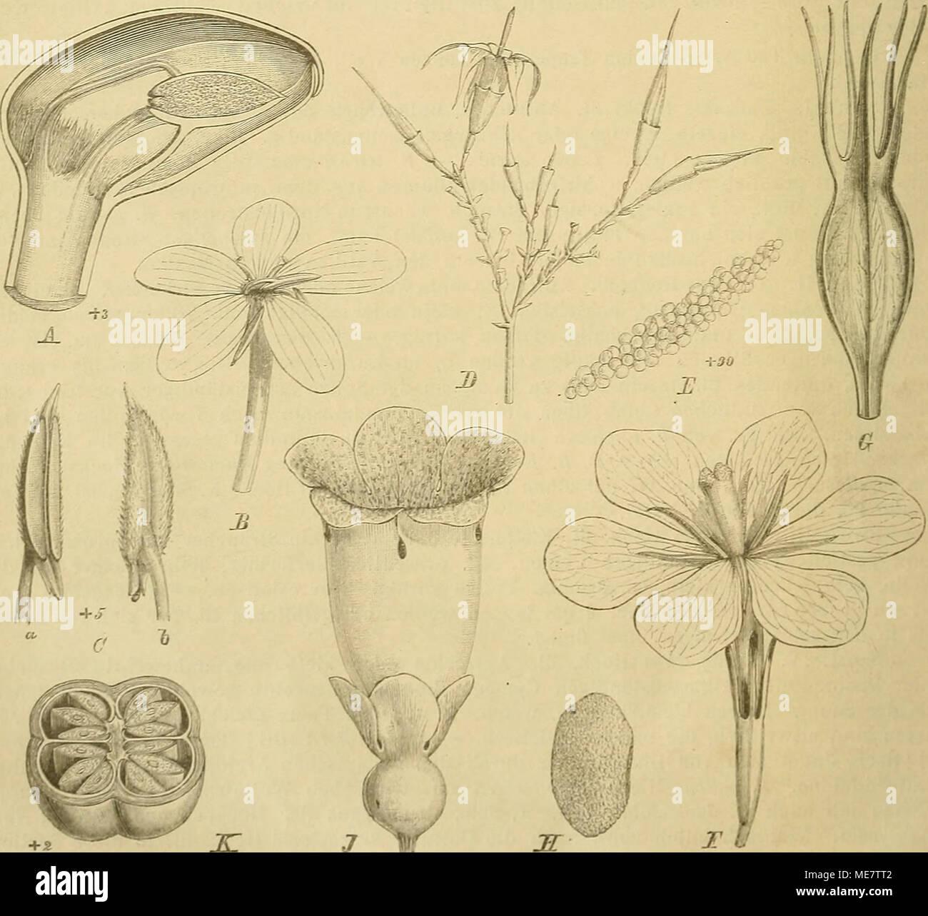 . Die Natürlichen Pflanzenfamilien : nebst ihren Gattungen und wichtigeren Arten, insbesondere den Nutzpflanzen . Fig. 2^. A—D Poaoqueria latifoUa (Lam.) R. et Seh. A Längsschnitt durch die Knospe; D 1!1. geöft'net; C Stb. von innen; D Stb. von außen. — E, F Randia acuminata (G. Don) Benth. E Blütenständchcu; /' PollL-nmasse. _ f;-.j Gardenia flori da Linn. C ßl.; H Fr.; J S.: K Amaralia, cali/ciua (G. Uon) K. Sjh., Bl. — L Moretia senegalmsis Rieh., Fr. (Original.) Stock Photo