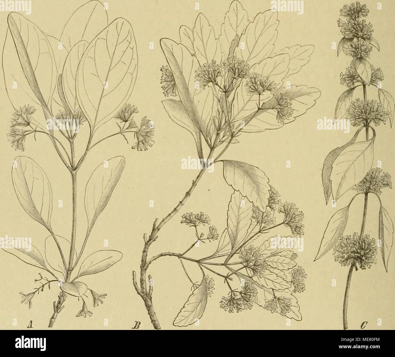 . Die Natürlichen Pflanzenfamilien : nebst ihren Gattungen und wichtigeren Arten, insbesondere den Nutzpflanzen . Flg. lOD. A bluliaalar Zweig voq Bystropogon orifjaiiifolins h'K4ni,. — 8 blühender Zweig voa B. piperitus Lowe, — C Zweig Toa B. mollis Kuatli. mit oft sehr kurzen Stf.; A. mit parallelen Thecae. Discus gleich oder vorne zu einem kleinen Nectarium wuchernd. Gr. am Gipfel kurz, pfriemlich und gleich 2spaltig , oder der hintere Ast kürzer. Nüsschen eiförmig, glatt. — Sträucher mit mäßigen oder kleinen B., die oberen oft zu Bracteen reduciert. Scheinwirtel bald kugelig, sitzend, die  Stock Photo