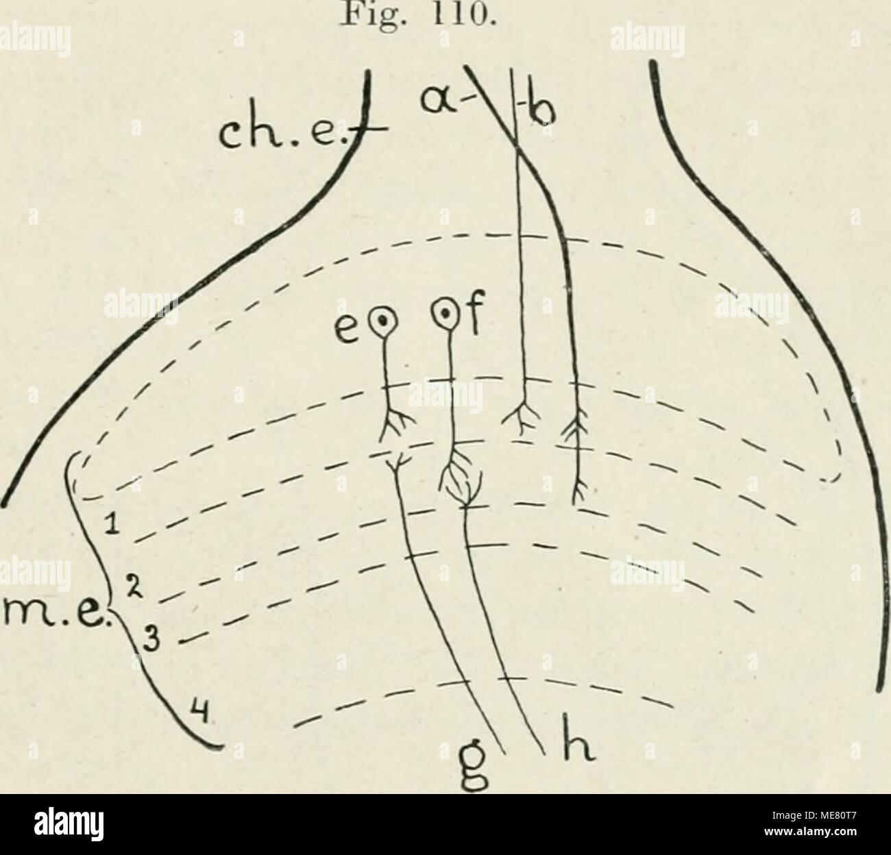 Die Leitungsbahnen im Nervensystem der wirbellosen Tiere . Schema ...
