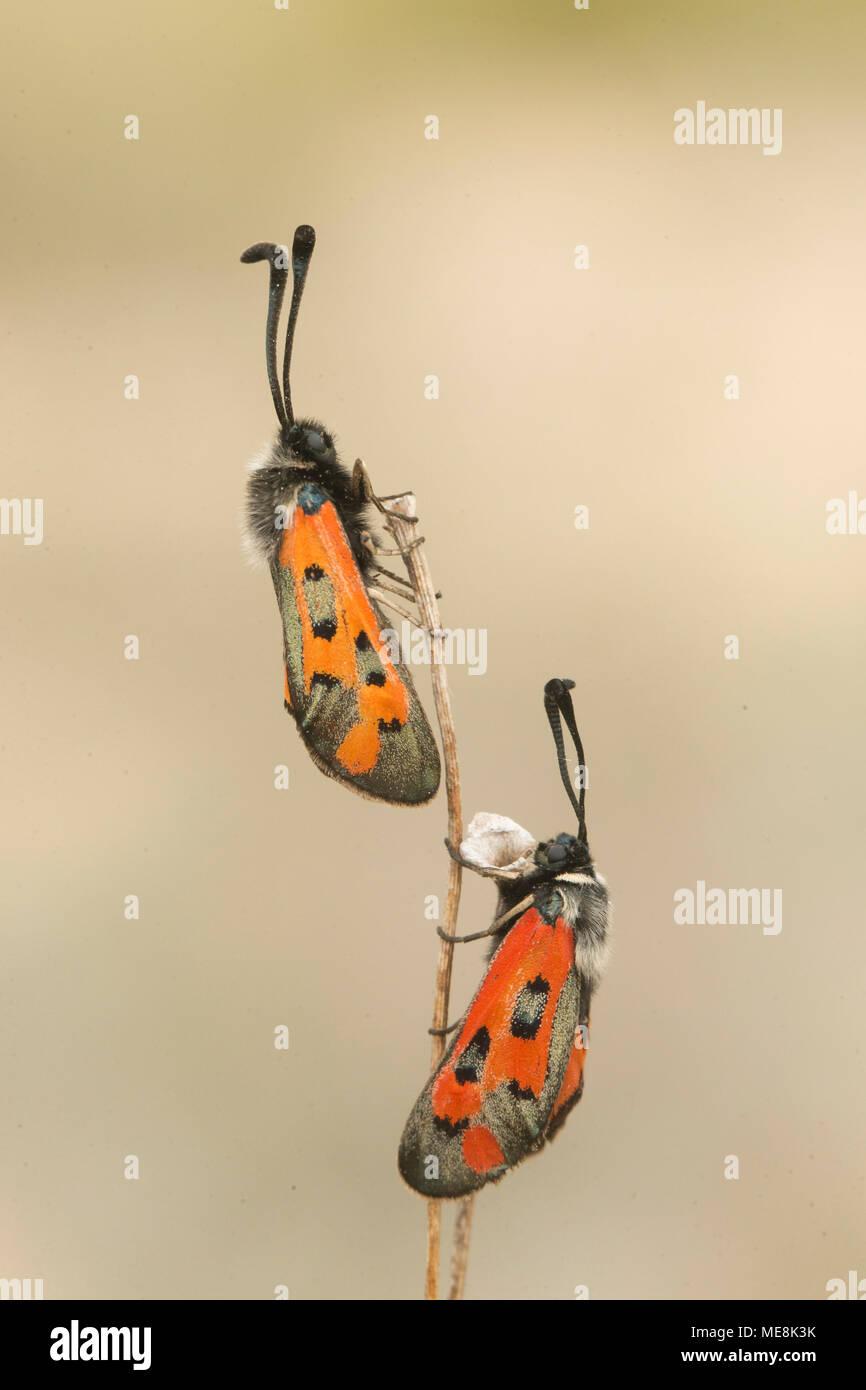 Two Burnet moth (Zigaena rhadamanthus) in plant. - Stock Image