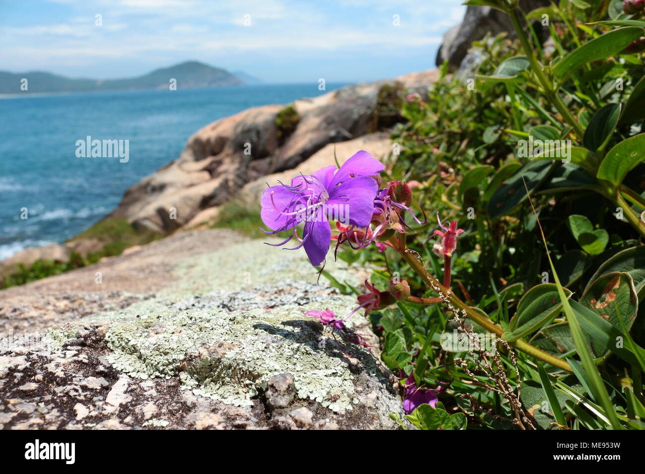 Purple Tibouchina granulosa by rocky cliff with the ocean in the background, Praia do Rosa, Brazil - Stock Image