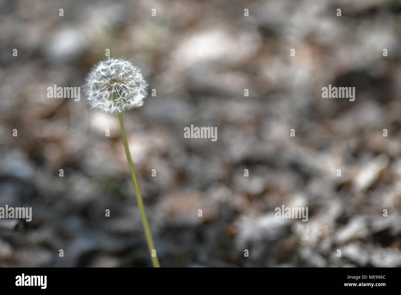 Dandelion with defocused background - Stock Image