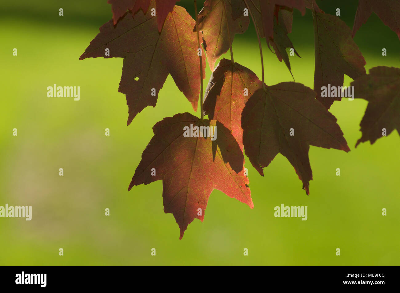 Leaf Changing Color Close Up Stock Photos & Leaf Changing Color ...