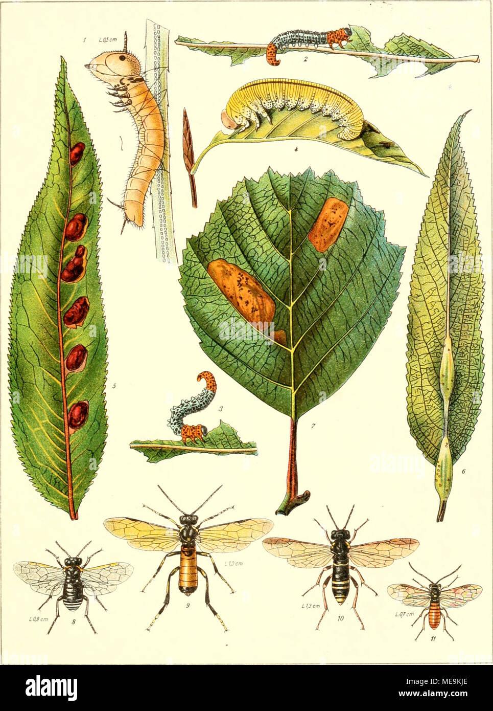 . Die insekten Mitteleuropas insbesondere Deutschlands . 1. Larve von Acantholyda erythrocephala L. in die Höhe kletternd (nach Oudemans). 2. Larve von Pteronus Salicis L. an einem Weidenblatt fressend. 3. Larve von Pt er onus Salicis L. in Schreckstellung. 4. Larve von Cimbex fagi Zadd. 5. Blatt von Salix amyg- dalina mit Qallen von Pontania proxima Lep. 6. Blatt von Salix amygdalina mit Gallen von Euura testaceipes Brischke. 7. Minen von Fenusa dohrni Tischb. in einem Erlenblatt. 8. Sciapteryx costalis F. 9 â 9. Tenthredo maculata Geoffr. </ ⢠10, AUantus vespa Retr. $ 11. Perineura rub - Stock Image