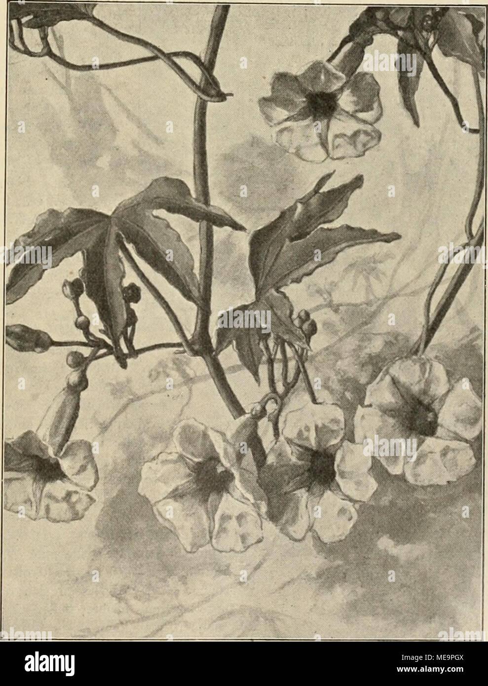 """. Die Gartenwelt . Ipomoea insignis. Originalzeichnung für dis """"Gartenwelt'. bekleiduDg, eine vielfache Verwendung finden können. Bei der /. insignis entspringen dem dicken, knolligen Wurzelstocke die alljährlich sich entwickeln- den starken, hochwinden- den, in der Jugend bräun- lich-rot, später dunkelgrün gefärbten Stengel mit band- förmig tief 5—7 lappigen Blättern und achselstän- digen Blütenstielen, deren jeder mehrere, gewöhnlich 3—5, grofse, rosarote, im Schlünde purpurgefärbte Blumen trägt. Letztere er- scheinen so reichlich, dafs an gut kultivierten Pflanzen in der Hauptblütezeit, die Stock Photo"""