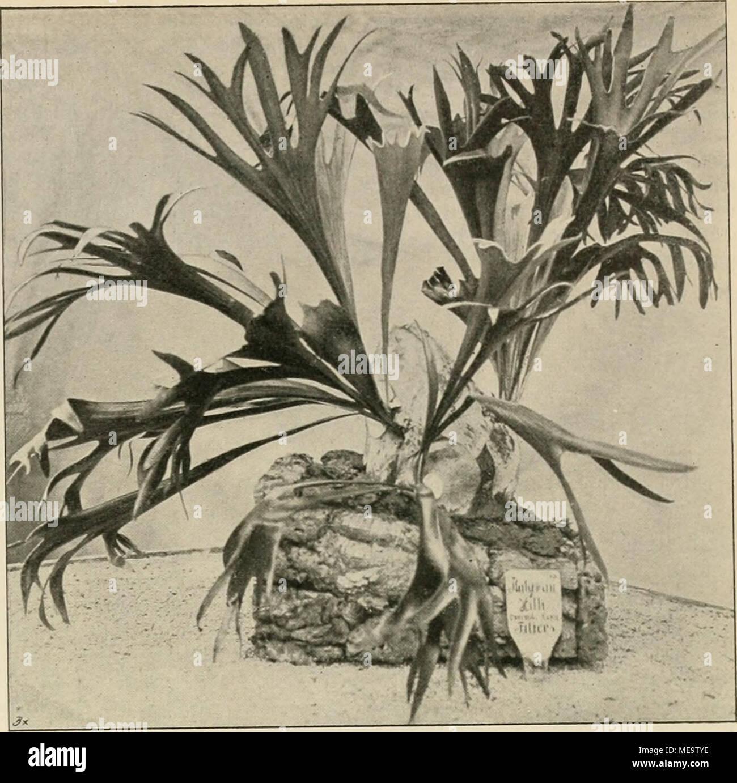 Die Gartenwelt . Platycerium Hillii. Im Botanischen Garten Zu Marburg In  Hessen Für Die .