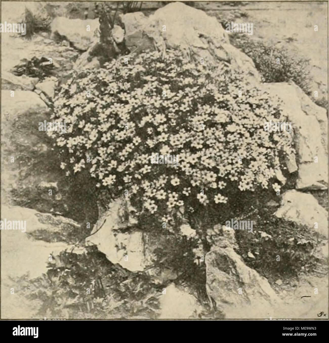""". Die Gartenwelt . Arenaria laricifolia. In der Handelsgärtuerei von Robert Veitch & Son, Exeter (Englandl, für die """"Gartenwelt""""* photugraphisch aufgenommen. thatsächlich in der Form an einen Elefantenrüssel erinnernde Frucht jedem Blumenfreunde etwas Be- sonderes, Originelles sein, und wo man heute sich etwas Altes, Ver- gessenes gern als etwas """"Neues"""" auftischen läfst und wo in Privat- und Herrschaftsgärten Liebhaber- sinn noch wohnt, da pflanze der Gärtner auf der Sommerblumen- rabatte auch Marlynia formoia, und sie wird ihm, wenn er nicht Schab- lonenmensch ist, selbst Freude Stock Photo"""