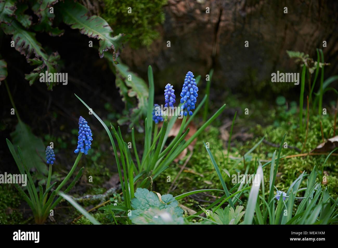Grape Hyacinth (Muscari) growing in damp woodland. Stock Photo