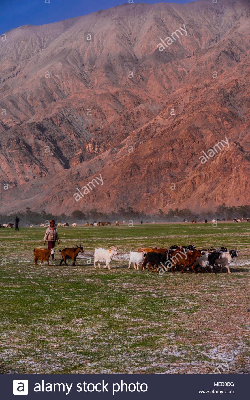 Goats grazing, Tashkurgan, along the Karakoram Highway, Xinjiang Province, China. - Stock Image