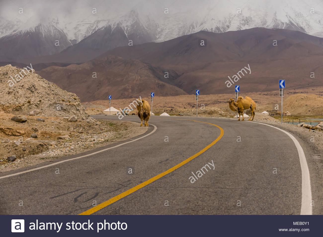Bactrian camels on the Karakoram Highway at Lake Karakul, Xinjiang Province, China. - Stock Image