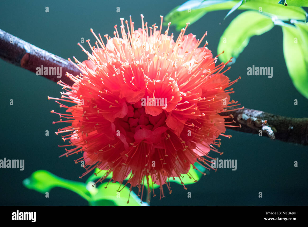 A beautiful tropical flower in bloom stock photo 180958445 alamy a beautiful tropical flower in bloom izmirmasajfo