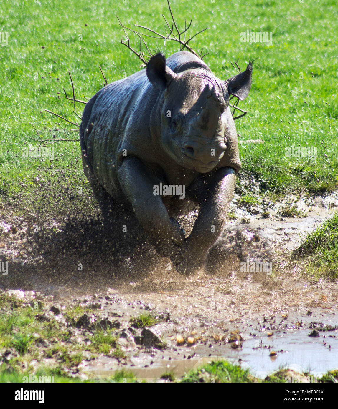 Rhinoceros running through a muddy puddle - Stock Image