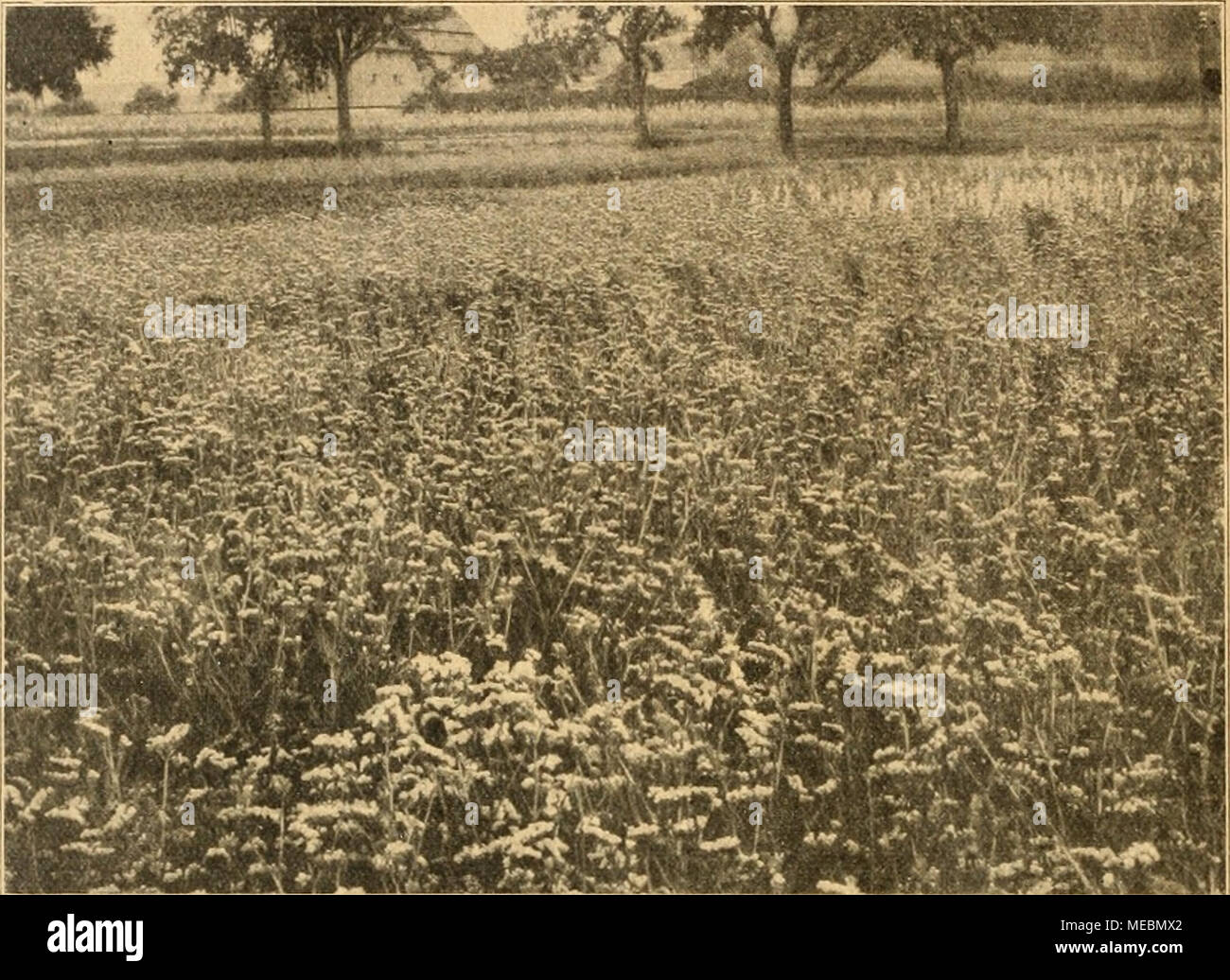 . Die Gartenwelt . möchte ich einiger der wich- tigsten und rentabelsten Pflan- zen dieser Art Erwähnung tun. Roccardia Manglesii ist eine ganz hervorragende ein- jährige, aus Australien stam- mende Pflanze, die allgemeine Verbreitung verdient. Mangels Roccardie wird 20â60 cm hoch und blüht etwa 10 Wochen nach der Aussaat. Man hat es somit in der Hand, den Blütezeitpunkt für den Frühling, Sommer oder Herbst zu bestimmen. Die von straffen Stielen getrage- nen, doldentraubig verästel- ten Blütchen sind von schöner rosenroter Farbe mit einem dunkleren Fleck am Grunde. In der Kultur befi Stock Photo