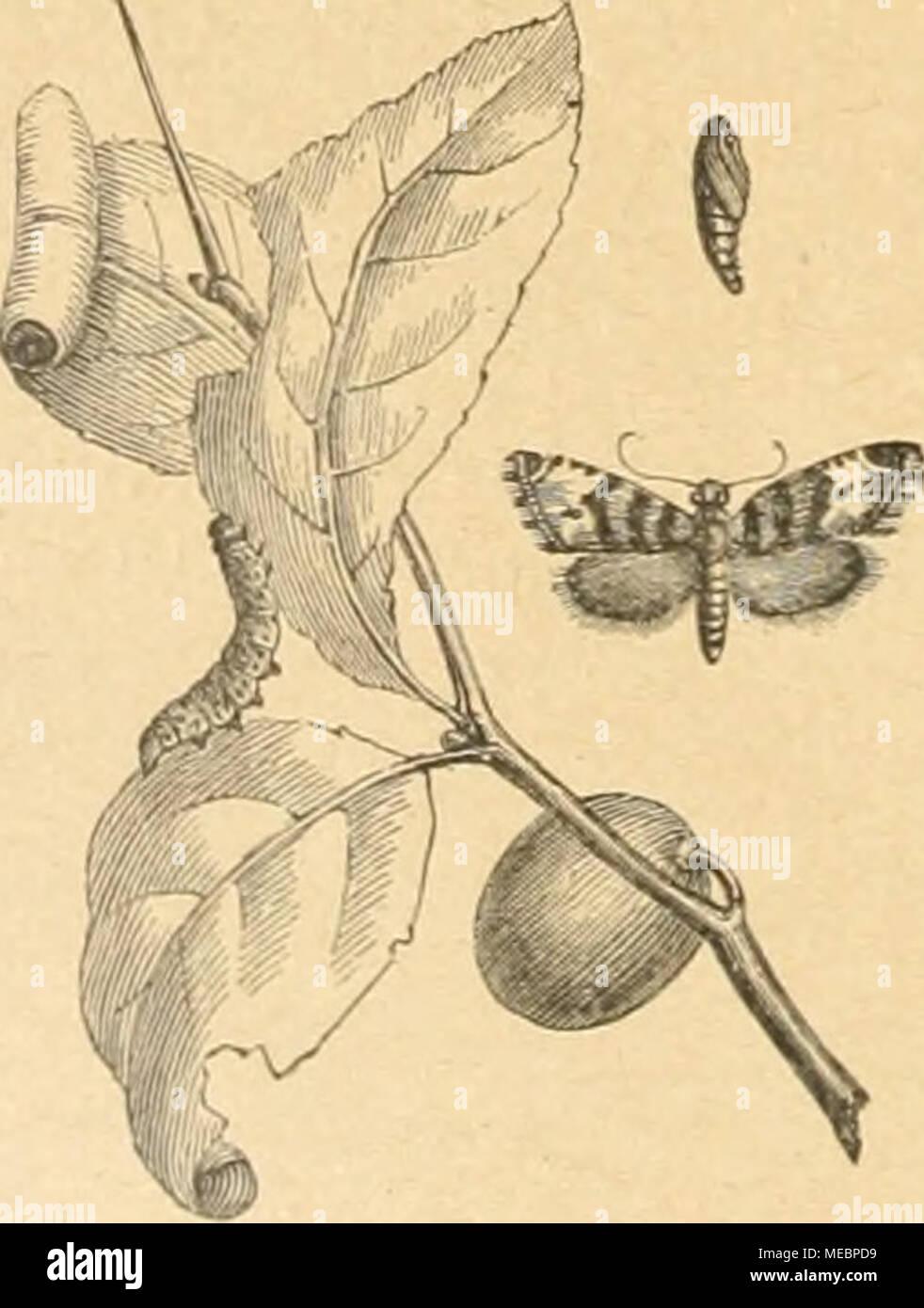 . Die Gartenwelt . an die erkrankte Rindenstelle seitens der Falter läßt sich vorbeugen, wenn man die Rinde des Fraßplatzes glättet, die Wunde ausschneidet und während der Flugzeit mit Fett oder Teer beschmiert oder auch kalkt. Ein Lehmverband im zeitigen Frühjahr verhütet das Ausschlüpfen der Falter. Außer anderem Laubholz werden Kernobstbäume und Johannisbeersträucher befallen vom ledergelben Obst- baumwickler, Pandemis ribeana. Hb., dessen gelbgrüne Raupen sich Blattröhren rollen, in denen sie sich auch ver- puppen. Der von ihnen verursachte Fraßschaden ist meist unbedeutend. Die schmutzig- - Stock Image