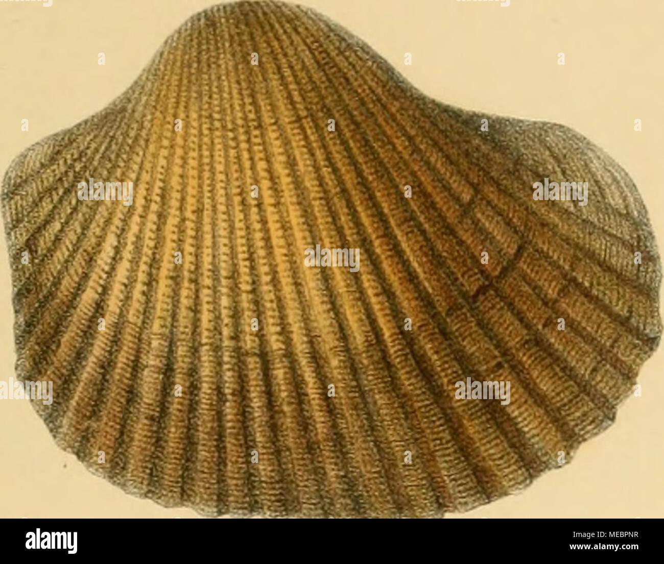 . Die Gattung Arca L. in Abbildungen nach der Natur . ,.^:}lff/ ,^ ,-«*• - Stock Image