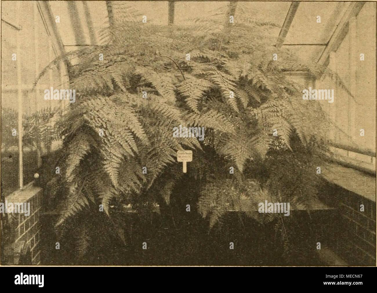 """. Die Gartenwelt . Abb. 1. Davallia pallida (D. Mooreana). Schaupflanze von 2 m Durchmesser. Nach einer vom Verfasser im Palmengarten Frankfurt a. M. für die """"Gartenwelt"""" gef. Aufn. Kultusministerium zuständigen Berufen zu unterstehen, weil dort Kunst und Wissenschaft amtlich betreut wird, so würde idi das als einen Irrtum bezeichnen müssen; denn die Gleichstellung hängt von der gleidien wissenschaftlichen Vorbildung ab, sobald ein gärtnerischer Beamter mit anderen, z. B. Baubeamten, in Vergleich kommt. Der höhere Baubeamte hat eben die Hochschulbildung mit allen Vorbildungsvoraussetzunge Stock Photo"""
