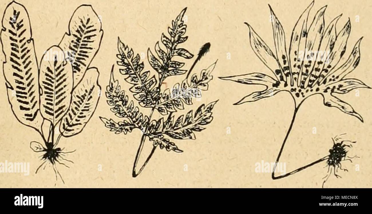 . Die Gartenwelt . Phyllitis Virdrowi Schizostege Lydgatei Cheiropteris palmatopetala *) Sämtliche Farne sehr stark verkleinert. jungen Blätter sammeln, aus welchen sie eine Creme be- reiten, die Hautkrankheiten heilen soll. Aehnlichkeit von Adiantum reniforme besitzt durch seine nierenförmigen oder ovalen Blätter mit schwarzen Stielen Schizoloma reniforme Gaud., auch unter den Namen Lind- saya gehend. Diese Art wächst in den Catingawäldern, im Gebiete des Amazonenstromes. Die Blätter sind von hell- grüner Farbe und haben einen Durchmesser von 3 cm. Pterozonium reniforme Mart. und Pteroz. cycl Stock Photo