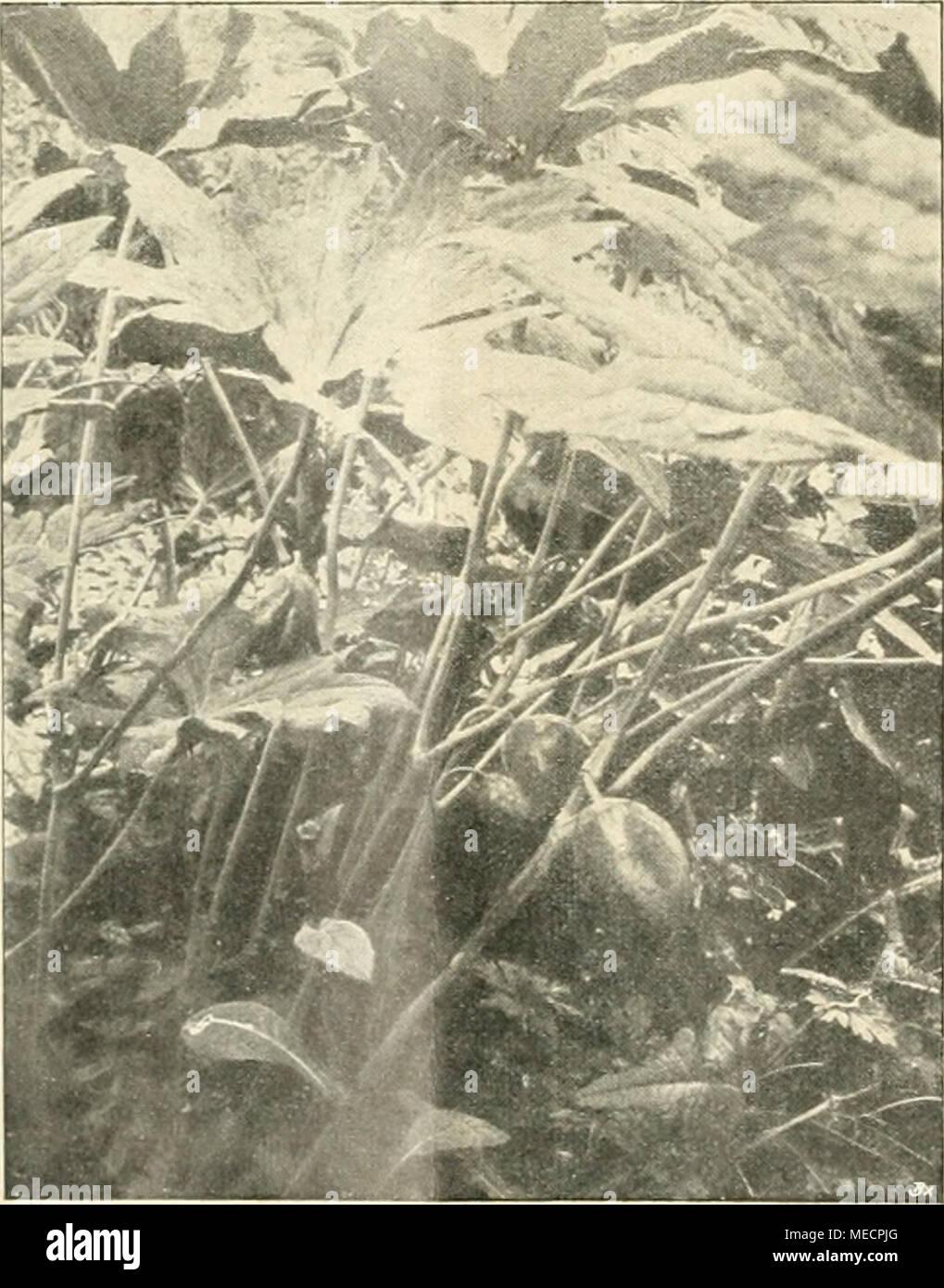 . Die Gartenwelt . Podophyllum Emodi majus. sitzen die Beeren doch einen so starken Geschmack, daß Unberufene von selbst die Finger davon lassen. Ein heimisches, aber ebenfalls giftiges Pflänzchen aus der Familie der Liliaceen ist die Ein- beere, Paris quadrifolia. Die aufrechten Stengel tragen quirlständige ei-ellip- tische Blätter, zwischen denen die ein- zelnen grünlichen, unscheinbaren Blüten stehen, denen später die schwarzen Früchte folgen. Mit Massen in halb- schattiger Stelle im Park, in humosem, lockerem Boden im Vereine mit Ma- janthemum bifolium, dem ebenfalls heimischen Schattenblü - Stock Image