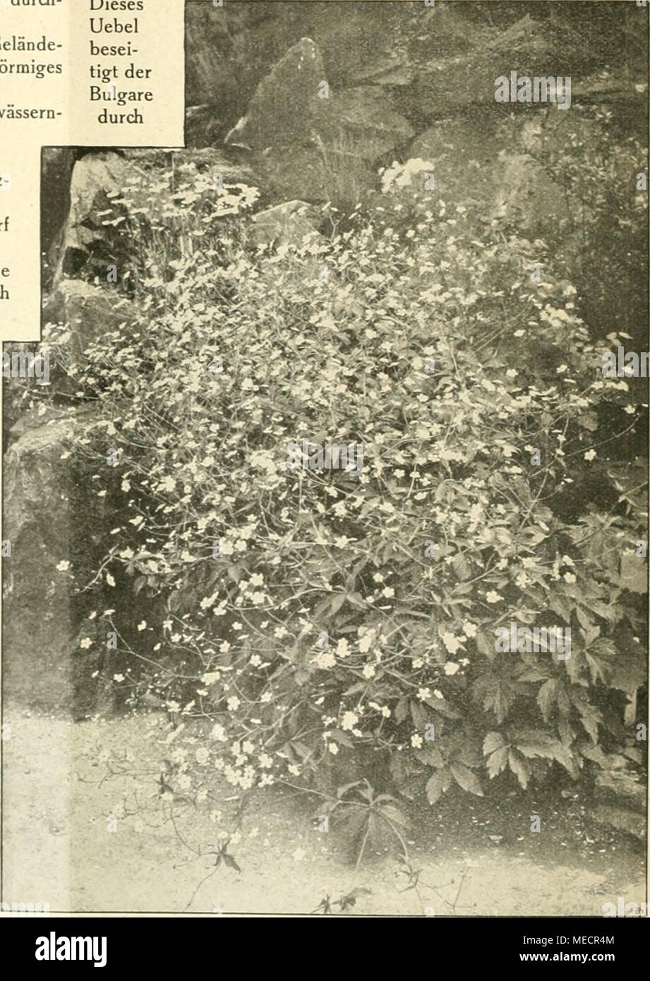 """. Die Gartenwelt . Ranunculus aconitifolius platanifolius. Nach eioer vom Verfasser für die """"Gartenwelt"""" gefertigten Aufnahme. - Stock Image"""