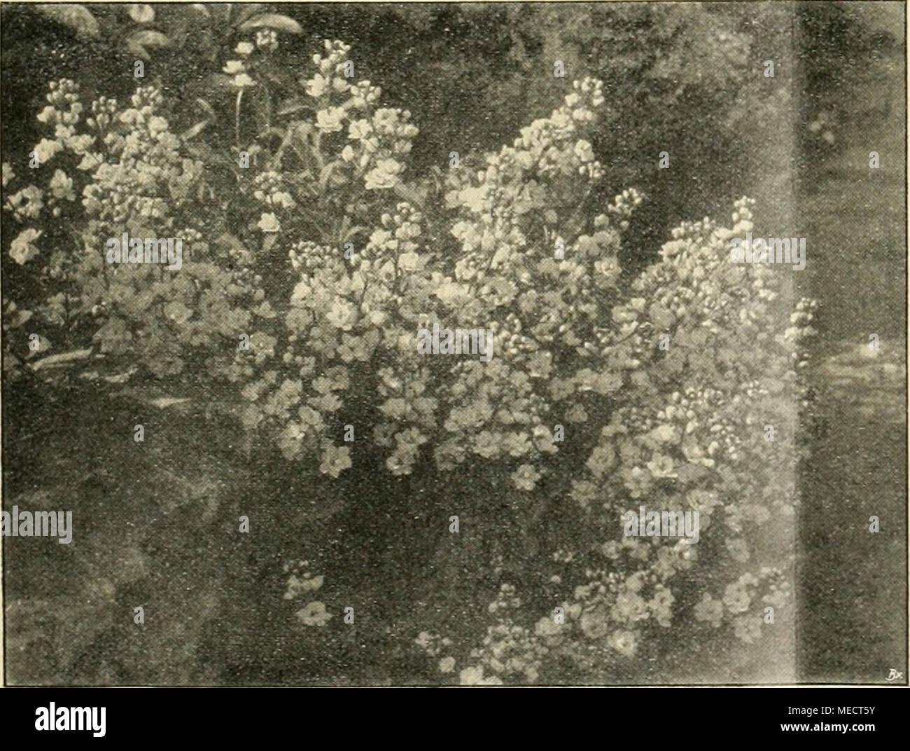 . Die Gartenwelt . Ãrabis alpina fl. pl. Lythrum virgatum kosakönigin. gepflanzt. Das Ernten der Kartoffeln machte allerdings mehr Arbeit, weil man auf die Schonung des Wirsing achten muÃ. Sechs groÃe Zwiebelbeete besäte ich dünn mit Oberkohlrabi Goliath und lieà diese unverpflanzt zwischen den Zwiebeln stehen. Als die Zwiebeln abgeerntet waren, hatte ich 6 Beete Oberkohlrabi, die eine volle Ernte brachten. Spinat und Stiel- mus, jedes natürlich für sich, zwischen dicke Bohnen breitwürfig zu säen, empfehle ich auch, doch müssen dann die Bohnenreihen wenigstens 50 cm Abstand haben. In d Stock Photo