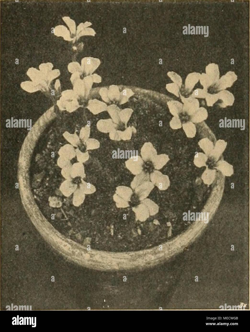 Die Gartenwelt . Saxifraga Burseriana Major. Gartenwell XXII. Saxifraga  Tombianensis. Zeigt Der .