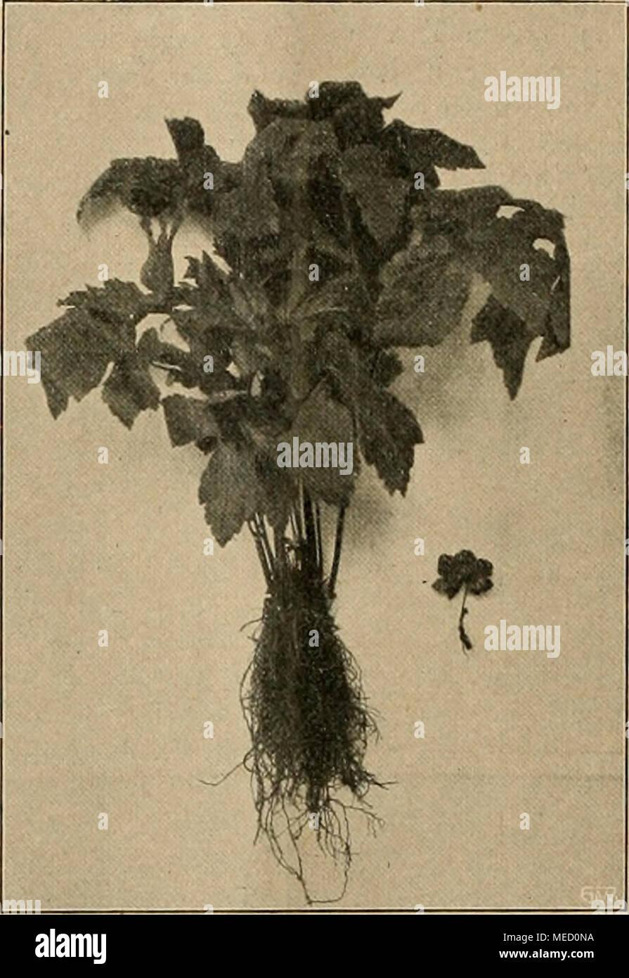 """. Die Gartenwelt . Hydrastis canadensis, gepflanzt im Sept. 1909, rechts junger Pflänzling. Originalaufnahme für die """"Gartenwelt"""". Gehölze. Magnolia grandiflora in La Spezia. Sie ist sehr schön und erhaben 1 Man darf aber diese Magnolienbäume nur auf ihren künst- lichen Hügelchen sehen und sonst nichts weiter in dem Teile des Stadtgartens, dem sie angehören, sonst ist es aus mit dem Zauber! Man muß es machen, wie in den Galerien. Hängt da ein Murillo, so darf man nur ihn betrachten und muß alle Plebejer, die da- neben hängen, geflissentlich übersehen, dann geht man gedanken- schwer fort u Stock Photo"""