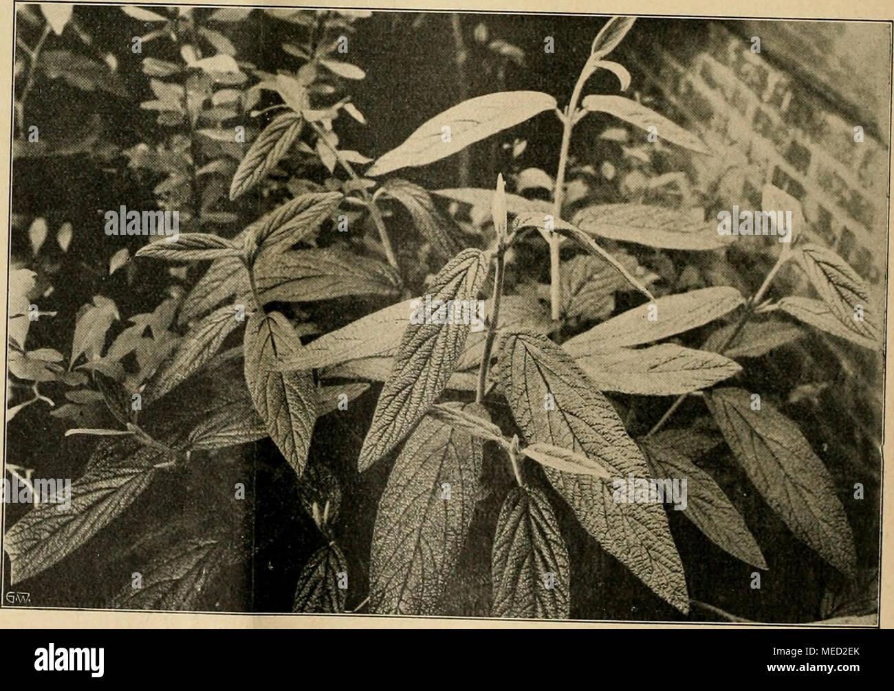 . Die Gartenwelt . Viburnum rhytidophyllum. - Stock Image