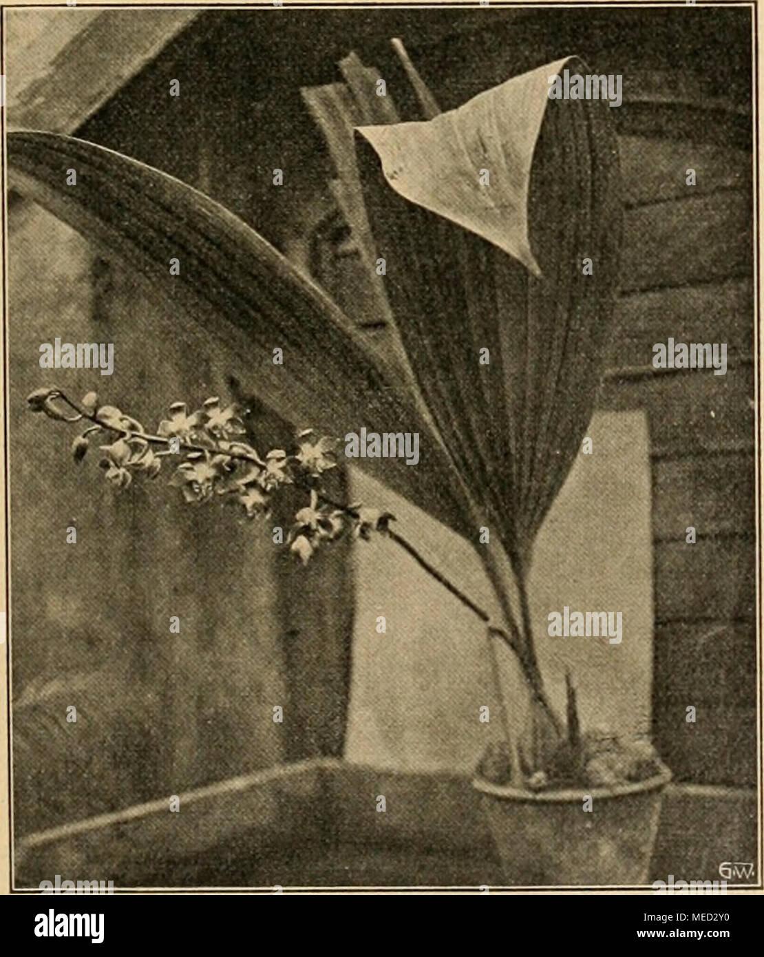 """. Die Gartenwelt . Moorea irrorata. Im Kgl. Berggarten zu Herrenhausen für die """"Gartenwelt"""" photo- graphisch aufgenommen. Keimung. Die Pilzsporen, welche die Ansteckung vermitteln, überwintern von einer Saison zur andern im Boden, so daß man also auch von einem durch Brandsporen verseuchten Boden sprechen kann. Durch Versuche hat die genannte Station festgestellt, daß Zwiebelpflänzchen, die zunächst unter Glas gezogen sind und später in das Freiland ausgepflanzt werden, von der Krankheit verschont bleiben. Sie hat ferner ermittelt, daß durch Bespritzen mit einer Flüssigkeit, die aus einem Stock Photo"""