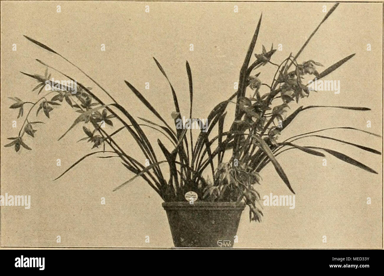 . Die Gartenwelt . Cymbidium grandiflorum. Pflanze und Einzelblume. Gartenwelt XV. Die Säule ist oberseits gelblichgrün, mit wenigen Punkten überstreut, an der Unterseite rotbraun ge- stridielt. Den an Form und Farbe edlen Blüten ist ein feiner, sehr angenehmer Duft eigen. In der Fachliteratur wird hin und wieder auf das Abfallen der Knospen bei Cymbidium grandiflorum hingewiesen, wie es in mehreren Gärten beobachtet worden ist. Wenn die Knospen etwa Vs ihrer normalen Größe erreicht haben, kann es vorkommen, daß dieselben an sonst gesunden Pflanzen scheinbar ohne Ursache gelb werden und abfall Stock Photo