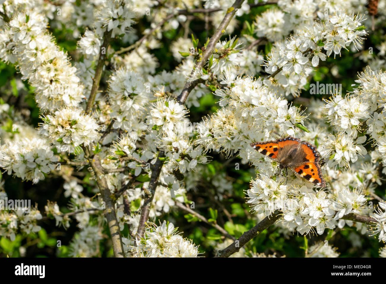 Small tortoiseshell butterfly (Aglais urticae) resting on white springtime blossom - Stock Image