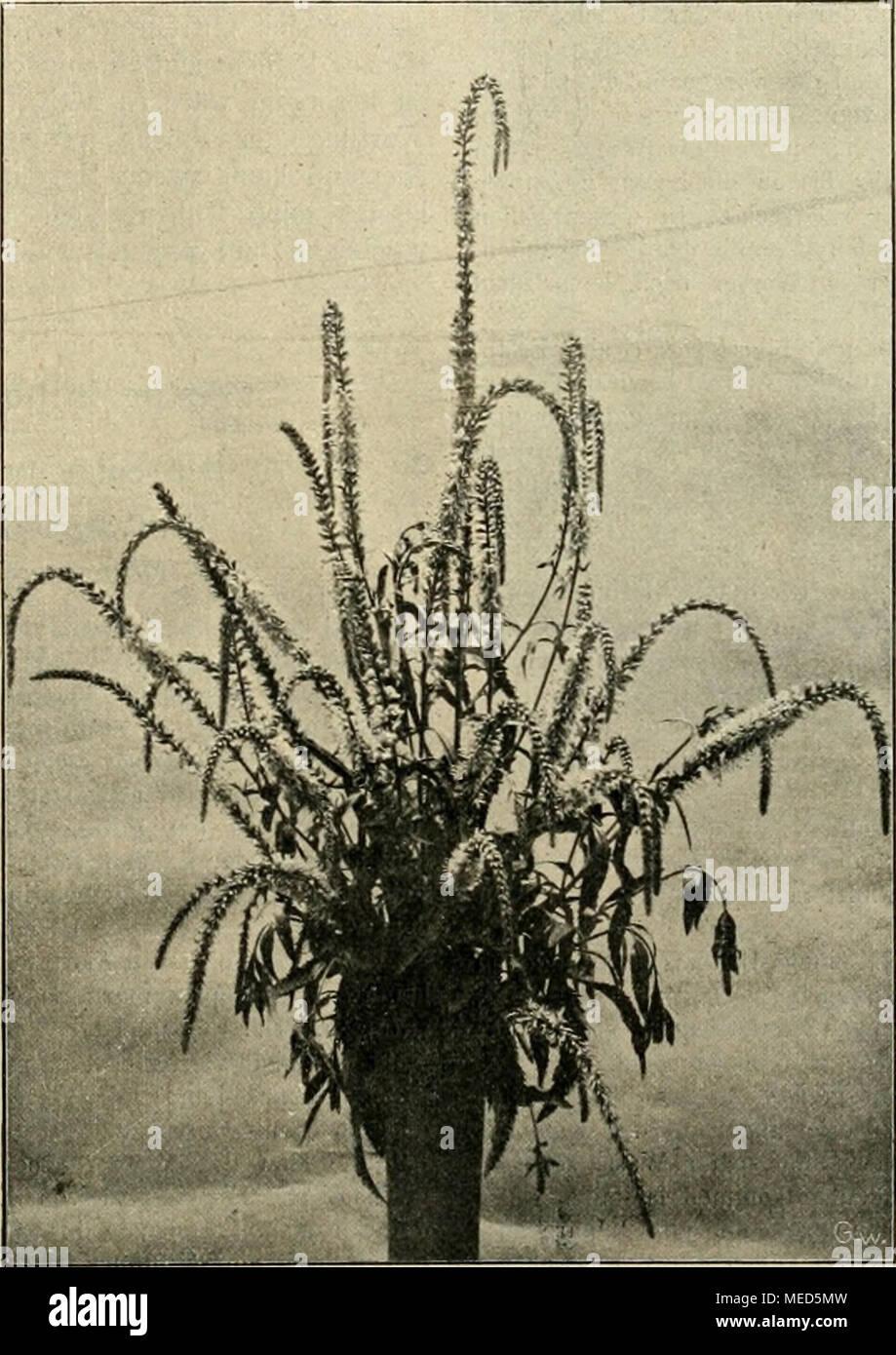 Die Gartenwelt . Einen Beträchtlichen Grad Von Trockenheit Vertragen.  Jedoch Wenn Wir Den Pflanzen .