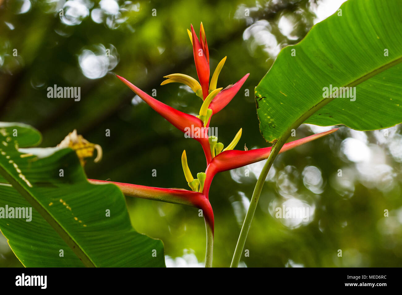 Flowers of Santa Marta Heliconia (Heliconia mincana), native only to the mountains of Sierra Nevada, Northern Colombia, South America. - Stock Image