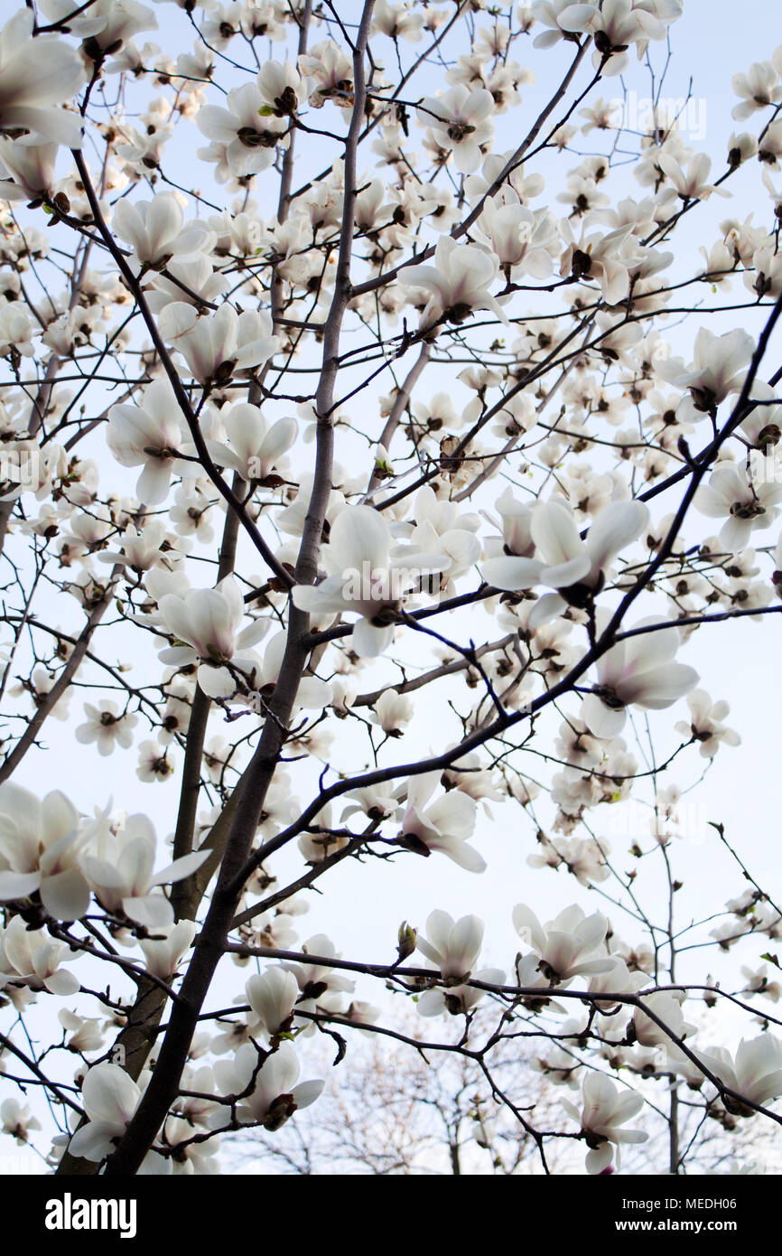 Magnolia Tree Blooming With White Flowers From Below Stock Photo
