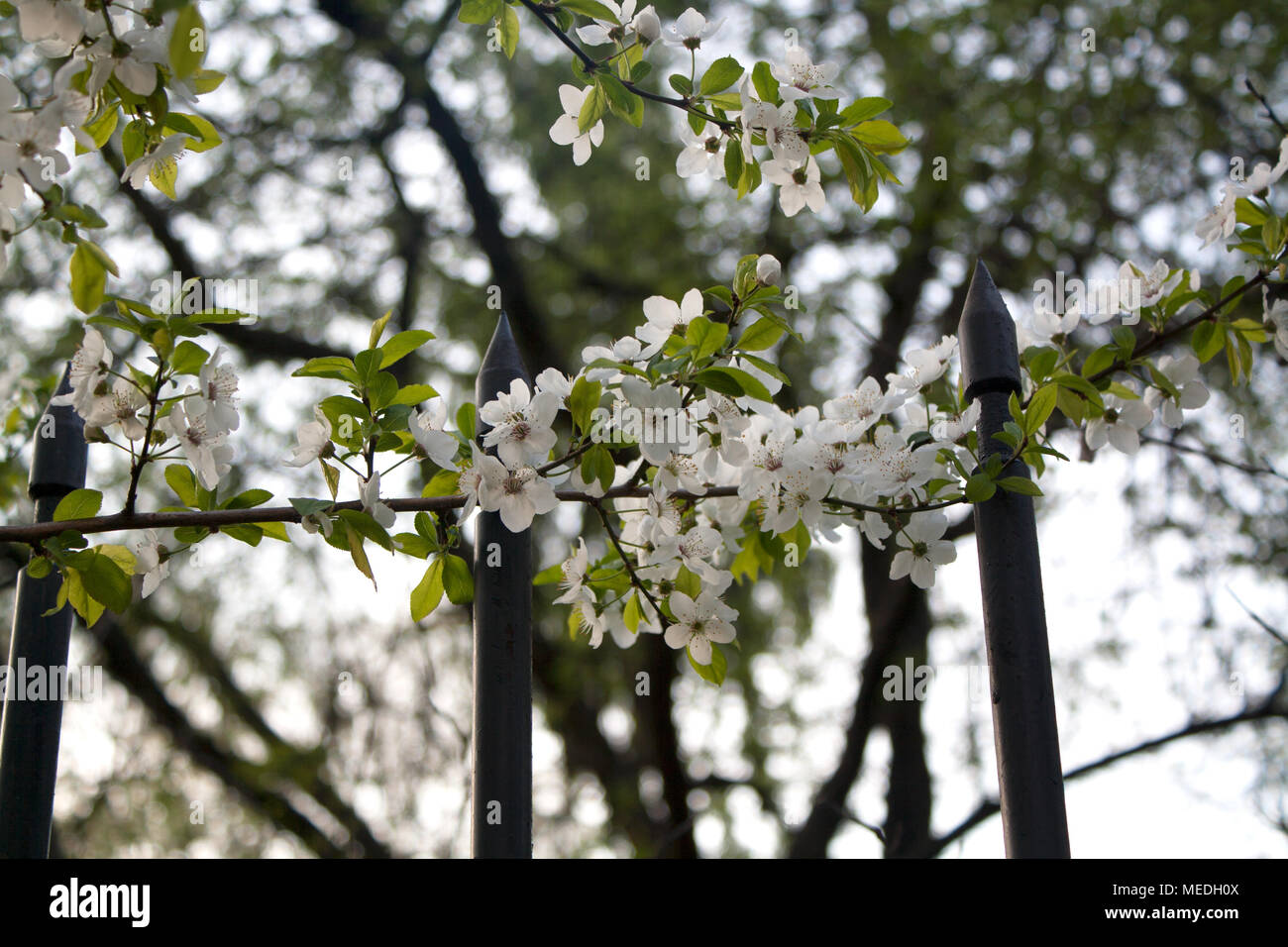 Cherry tree branch blossoming with small white flowers above black cherry tree branch blossoming with small white flowers above black metal gate mightylinksfo