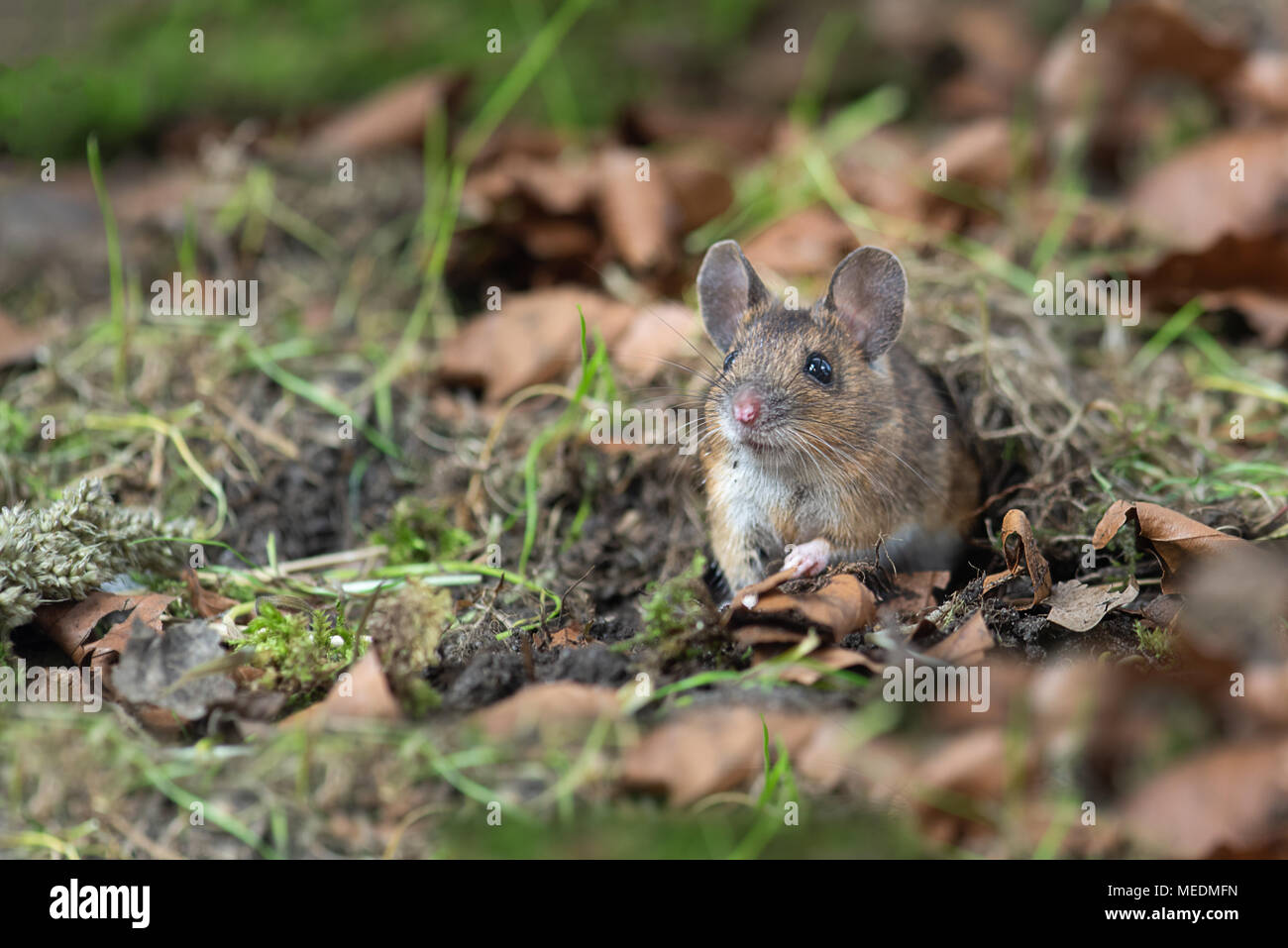 quietly sitting on the forest floor and looking alert emerging from the fauna is this wood mouse Apodemus sylvaticuse which  is a common rodent from E - Stock Image