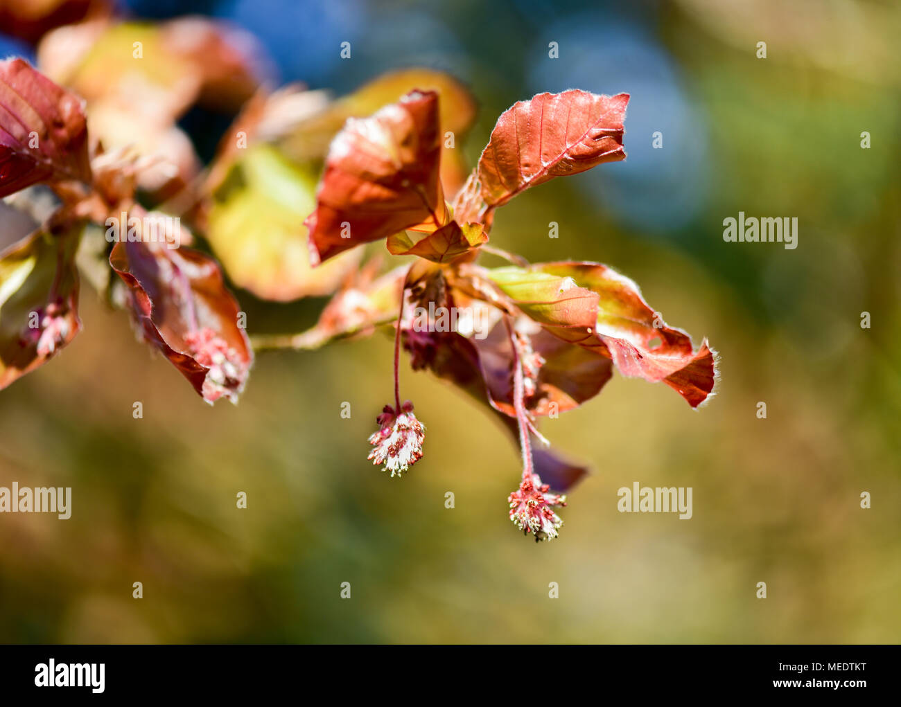 Young leaf of purple beech and pollen on it. - Stock Image
