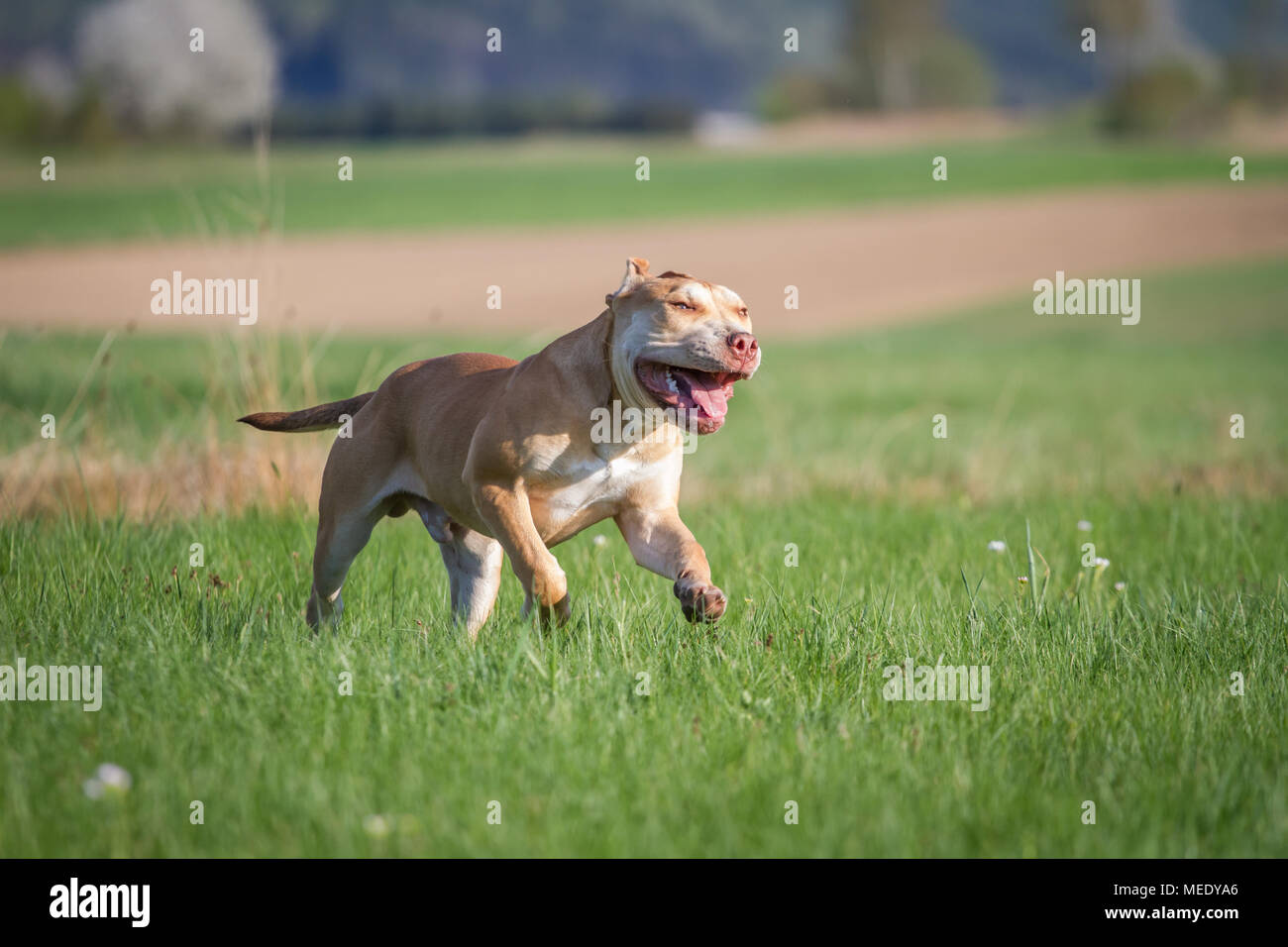 Young Working Pit Bulldog running on a meadow on a sunny spring day - Stock Image