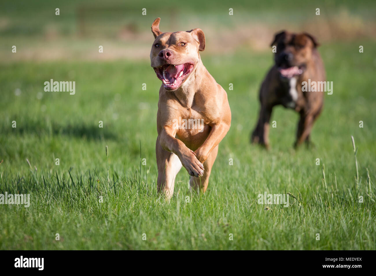 Working Pit Bulldog running on a meadow on a sunny spring day - Stock Image
