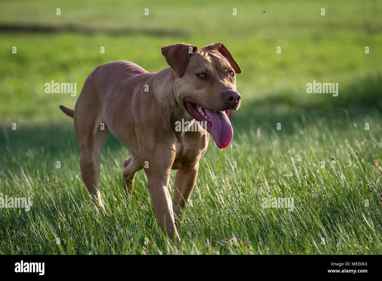 Working Pit Bulldog walking on a meadow on a sunny spring day - Stock Image